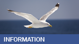 seagull-information